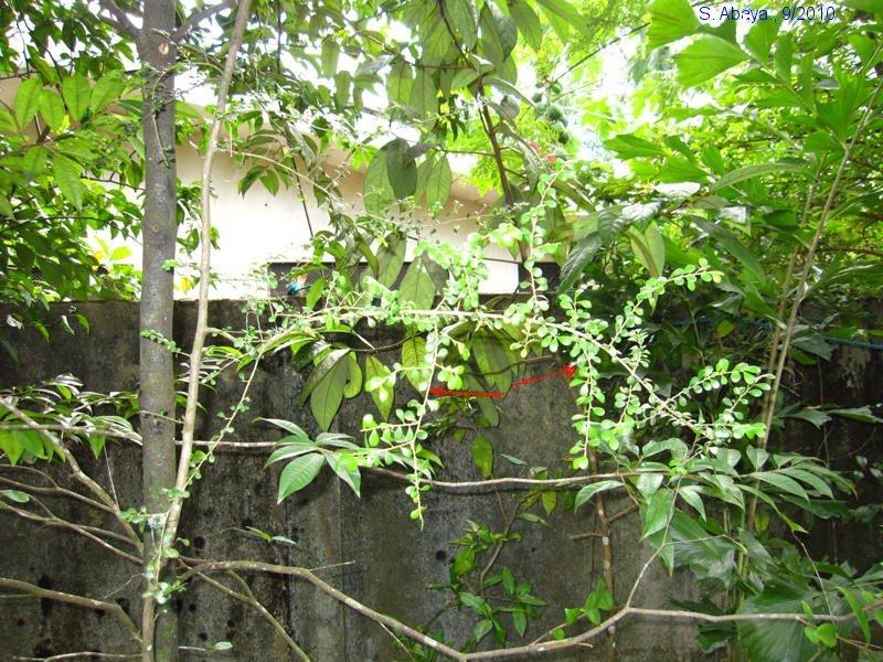 sage leaves in tamil