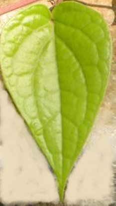 andrographis paniculata wikipedia